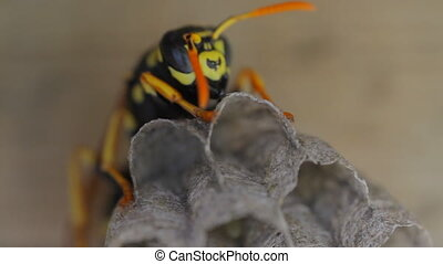 Yellow Jacket Wasp on nest eggs