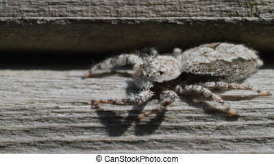 Jumping Spider jumps left to right - Jumping Spider facing...