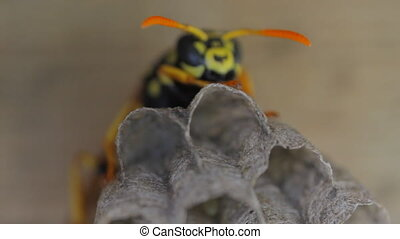 Yellow Jacket Wasp on nest eggs - Yellow Jacket Wasp tends...