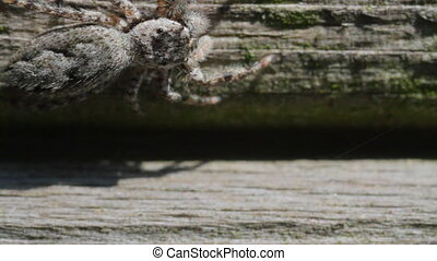 Jumping Spider jumps right to left - Jumping Spider facing...
