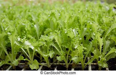 lettuce sprouts in a row