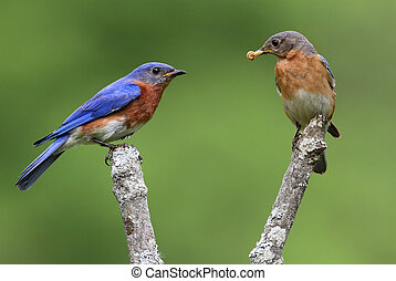 Pair of Eastern Bluebirds (Sialia sialis) on a branch with a...