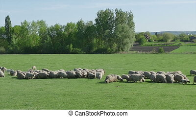 Herd of sheep at meadow eating grass right to left panning...