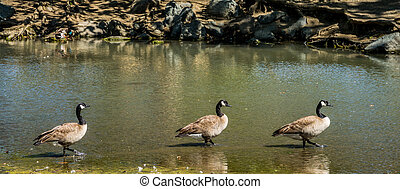 Three Geese in a Row - Three Canadian geese all in a row in...
