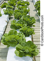 Lettuce Hydroponics - Hydroponic Cultivation of Green...