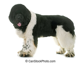 black and white newfoundland dog in front of white...