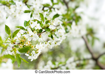 blossom cherry tree - picture of blossom cherry tree with...