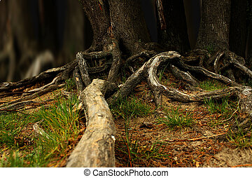Tree roots - Fir tree roots outside the earth in the forest