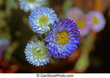 China Aster , Callistephus Chinensis Flowers
