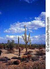 Saguaro Cactus Sonora Desert