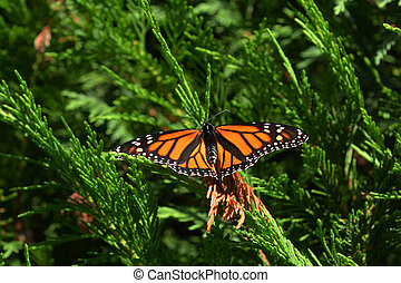 Monarch butterfly sit on a tree.