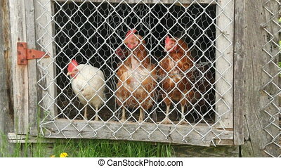 hens in chicken coop observing at the door