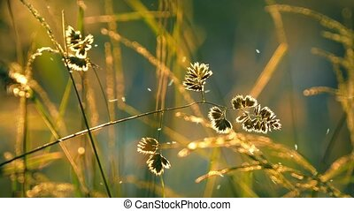 Grass Catching Sunset Light With In - Grass with tiny...