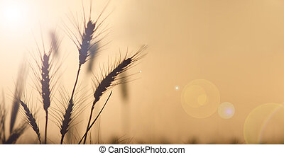 Warm Wheat Field at Sunset with Lens Flare - Field wheat in...