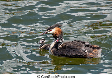 Great crested grebe or Podiceps cristatus with nestlings on...