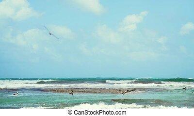 Pelicans fishing in Tulum,Mexico