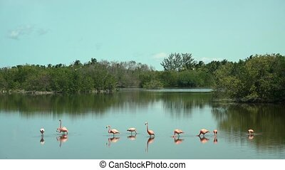 Flamingos in Cuba Keys