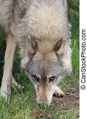 Gray Wolf - A wild gray wolf watches warily as it eats food...