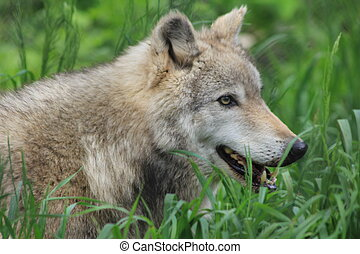 Gray Wolf - A wild gray wolf moving through tall grass The...