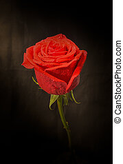 Red Rose light and shadow of fine art, low key