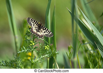 Southern Festoon or Zerynthia polyxena butterfly on meadow