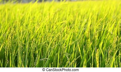 paddy rice field dancing from windy