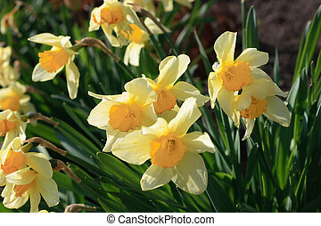 narciss - beautiful yellow daffodils growing in the...