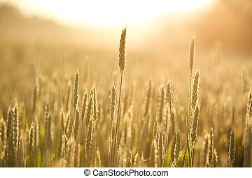 Growing wheat close-up in morning dew on background of...
