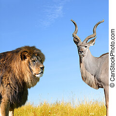 Big Lion with Kudu on savannah.