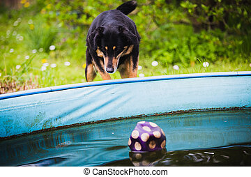 dog waiting for ball in pool - dog waiting for a ball in...
