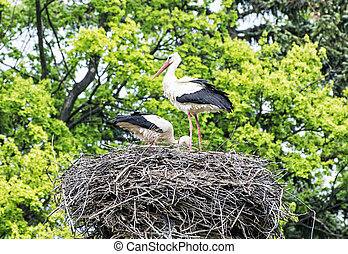 Family of White stork - Ciconia ciconia - in the nest, bird...