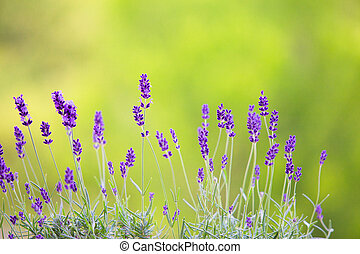 Lavandula flowers over grass. - Lavandula flowers over green...