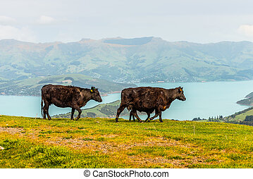 New Zealand cows and calf