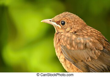 Young Thrush - Closeup portrait of young brown Thrush Turdus...