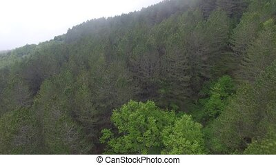 aerial view of the pine forest in the mountains - flight...