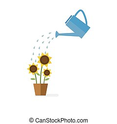 Watering can watering sunflowers. Green sprout and flowers...