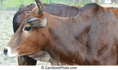 brown cow and calf closeup