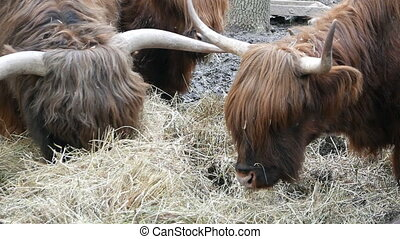 bulls with long wool eating hay close-up