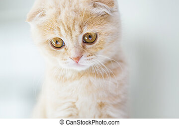 close up of scottish fold kitten - pets, animals and cats...
