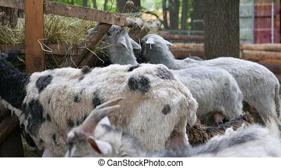 sheep and goats eat hay