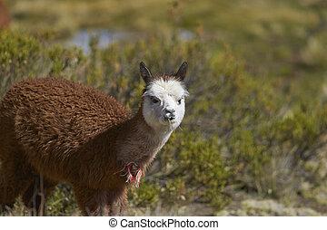 Alpaca - Baby Alpaca