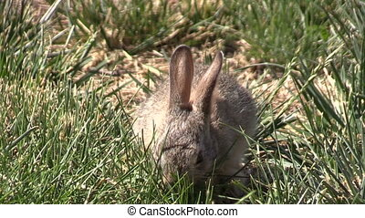Baby Cottontail Rabbit Eating Grass - a cute baby cottontail...