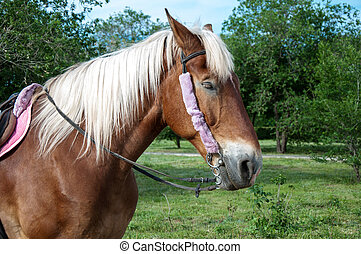 Home horse outdoors - The horse Equus ferus caballus is one...