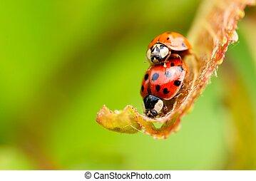 Two red ladybugs on fresh spring leaf - Horizontal photo...