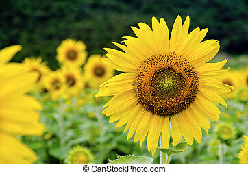 Sunflower or Helianthus Annuus - Many yellow flower of the...