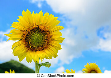 Sunflower or Helianthus Annuus on sky background - Yellow...