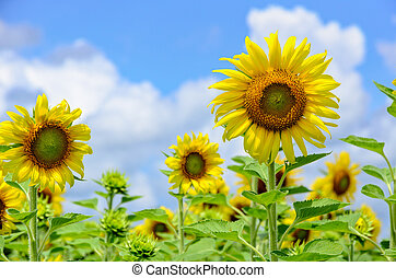 Sunflower or Helianthus Annuus on sky background - Many...