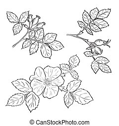 Hand drawn sketch dog rose flowers and fruits, ink drawing...