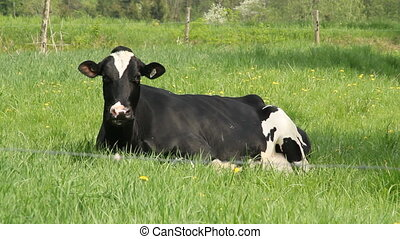 Holstein cow surrounded by flies lying in the grass