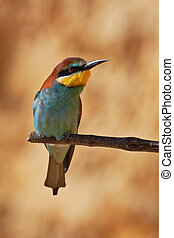 European bee-eater on a branch, Merops apiaster. Shallow...